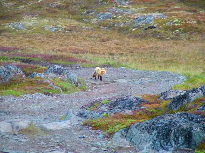 red fox on quirpon island, newfoundland, canada