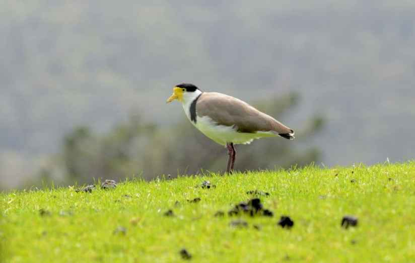 An image of a Spur-winged Plovers near Karekare Falls, Auckland, New Zealand.