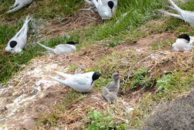 An image of White-fronted Tern chicks at Muriwai in New Zealand.