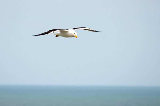 Image of a Southern Black-backed gull at Muriwai, North Island, New Zealand. Photography by Frame To Frame - Bob and Jean