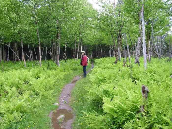 ferns along baker's brook falls trail in gros morne national park, newfoundland