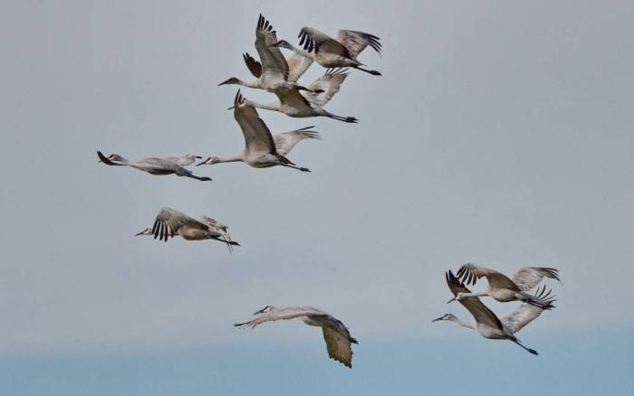 sandhill cranes in flight over kawartha lakes district in ontario, canada