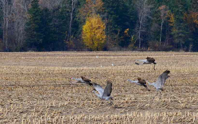 sandhill cranes in a farm field in kawartha lakes in ontario, canada