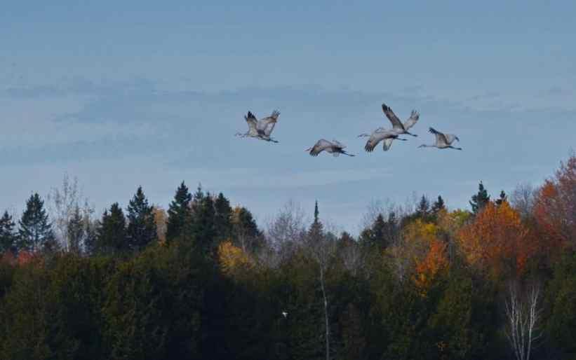 sandhill cranes in flight over kawartha lakes in ontario, canada