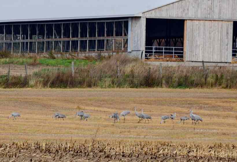 sandhill cranes in a farm field in kawartha lakes in ontario, canada