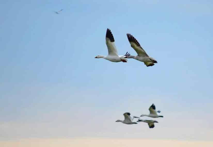 snow geese flying in ontario, canada