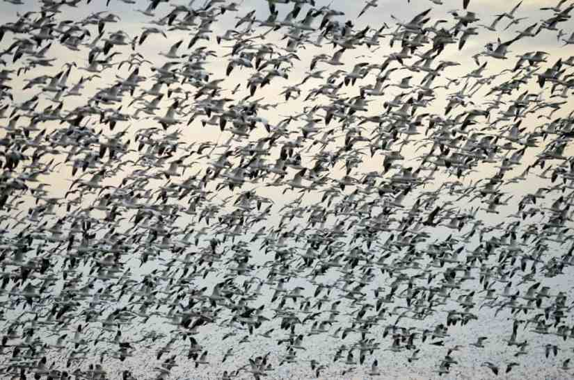 a flock of greater snow geese in ontario, canada