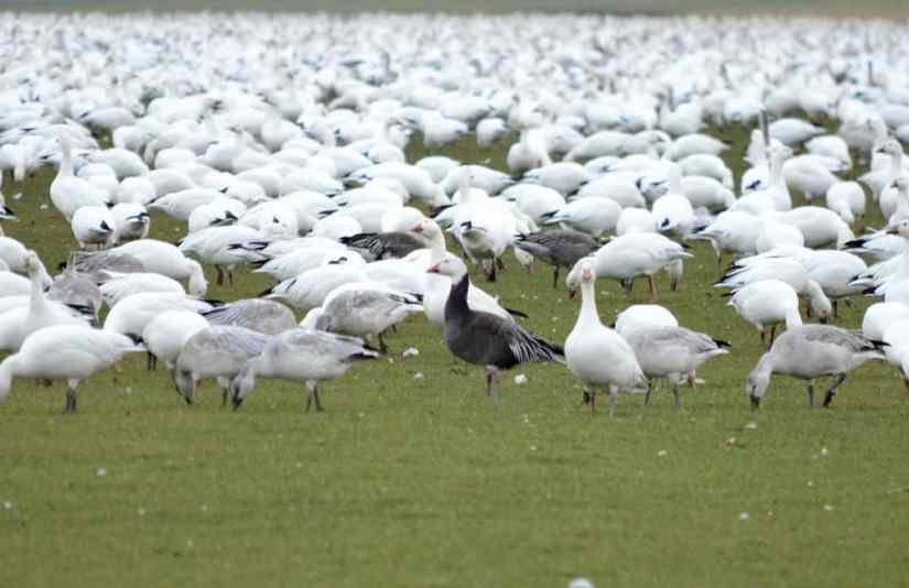 a blue morph snow goose or blue goose in ontario, canada