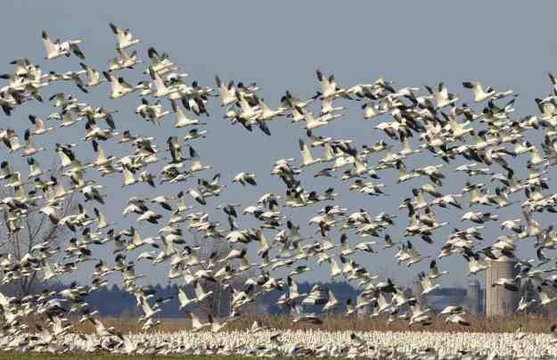 a flock of greater snow geese take to the air in ontario, canada