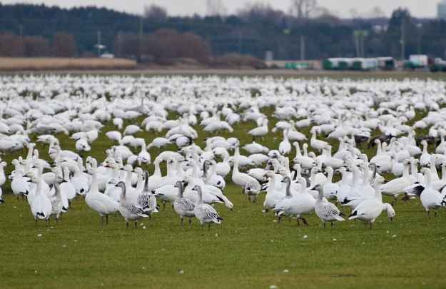 juvenile greater snow geese in ontario, canada