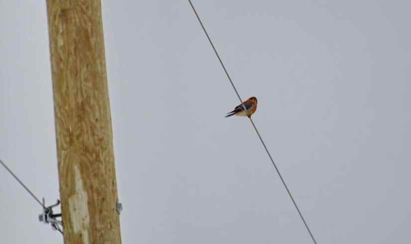 an american kestrel in kawartha lakes region of ontario
