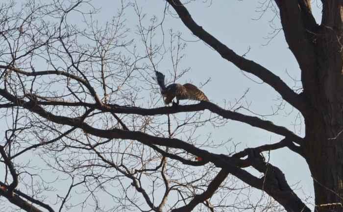 a cooper's hawk struggling with a big brown bat in a north Toronto park, ontario, canada