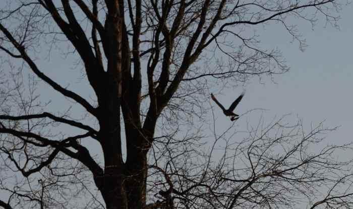 a cooper's hawk carrying a bat in north Toronto park, ontario, canada
