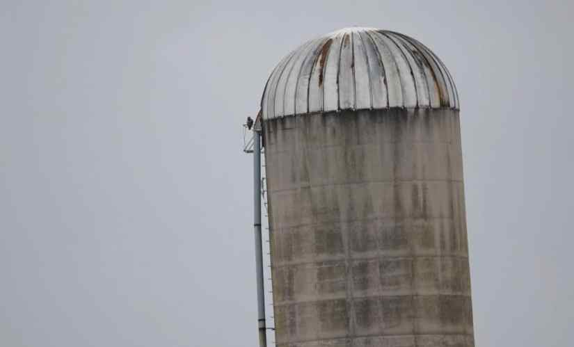 a red-tailed hawk on a silo in kawartha lakes region of ontario