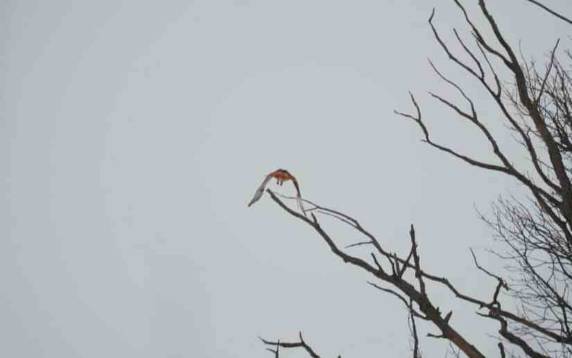 a red-tailed hawk flying over kawartha lakes region in ontario