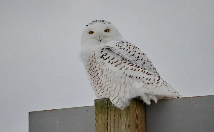 snowy owl near brooklyn, ontario