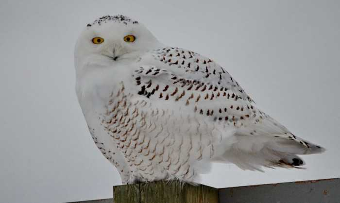 a snowy owl on a road sign in brooklyn, ontario
