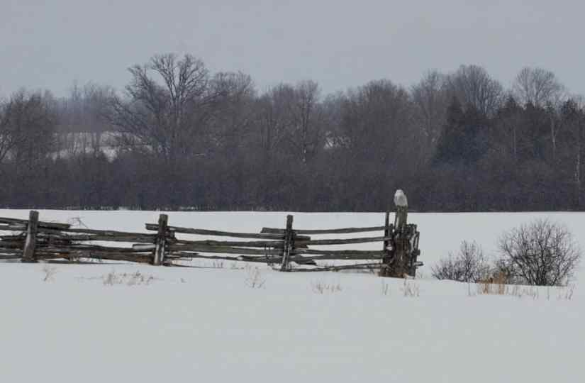 a snowy owl on a fence post in kawartha lakes region of ontario