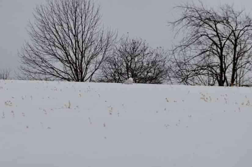 snowy owl on crest of a hill in kawartha lakes region of ontario