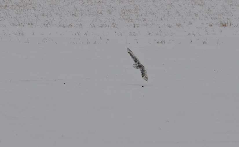 a snowy owl flying low in kawartha lakes region of ontario