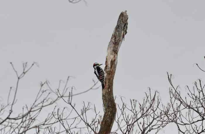a hairy woodpecker male on a dead snag in kawartha lakes region of ontario