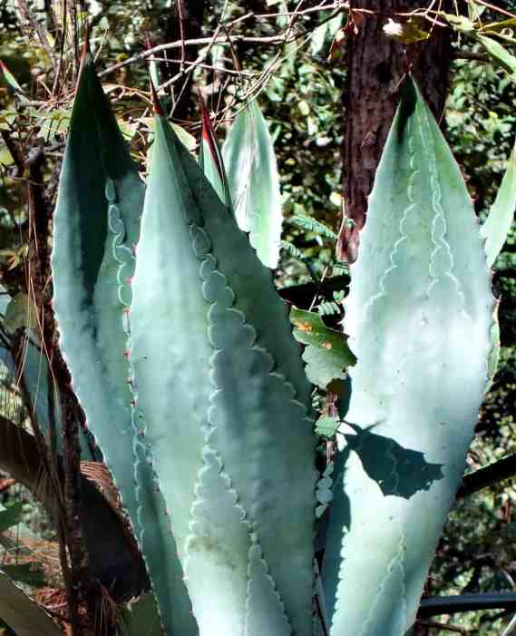 Agave plant growing at Cerro de San Juan Ecological Reserve, Mexico.