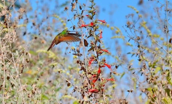 Berylline Hummingbird in Mexico.