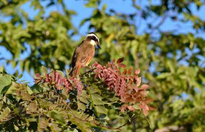 Great Kiskadee sitting on a tree in Mexico.