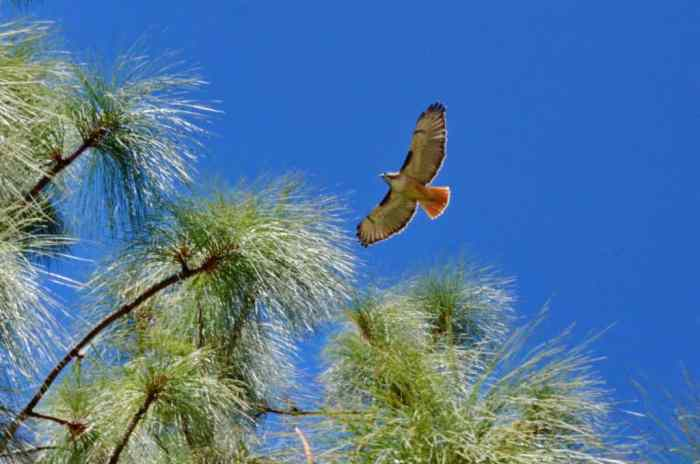 Red-tailed Hawk in flight in Mexico.