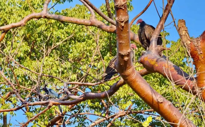 Turkey Vultures perched in a tree in Mexico.