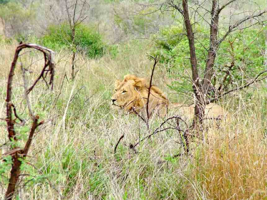 a healthy male lion in kruger national park, South Africa
