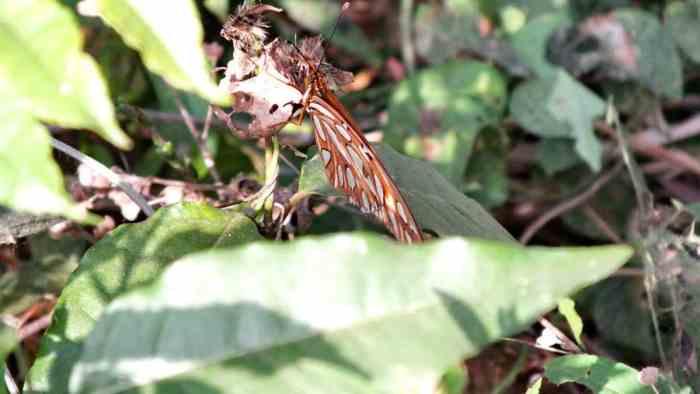 Image of a Gulf Fritillary Butterfly near La Bajada, Mexico.
