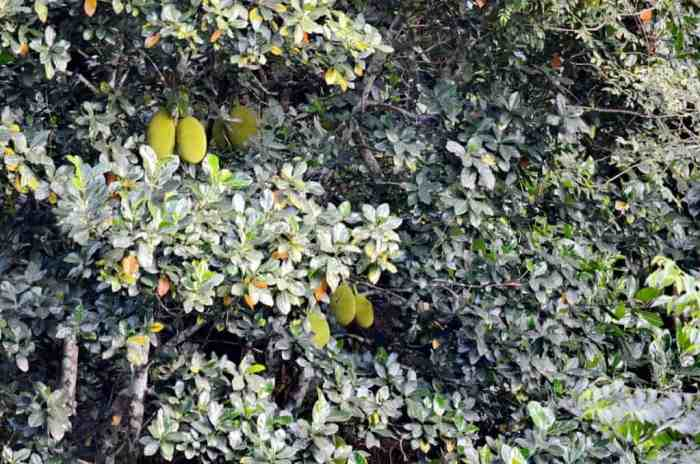 Image of Jackfruit tree growing near the village of La Bajada, Mexico.