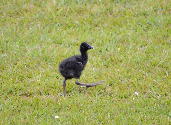 australasian swamphen fledgling, ark in the park, waitakere ranges regional park, north island, new zealand