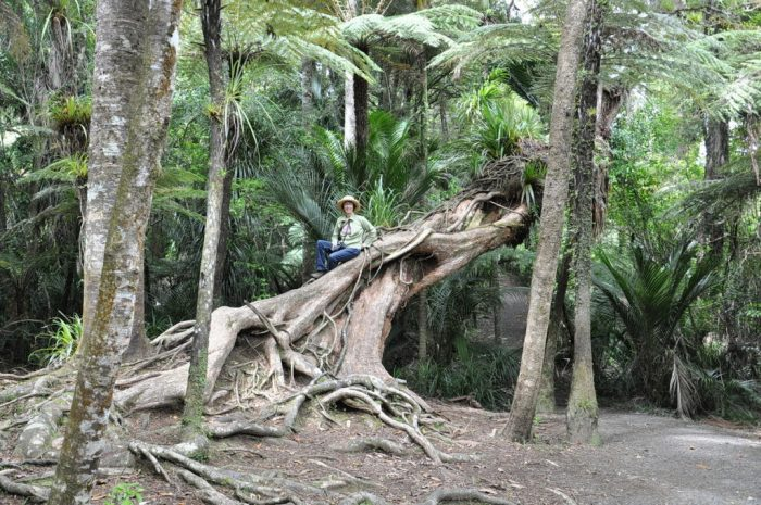 fallen tree, ark in the park, waitakere ranges regional park, north island, new zealand