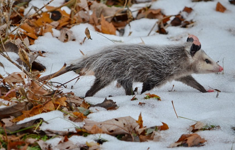 a young north american opossum, milliken park, toronto, ontario