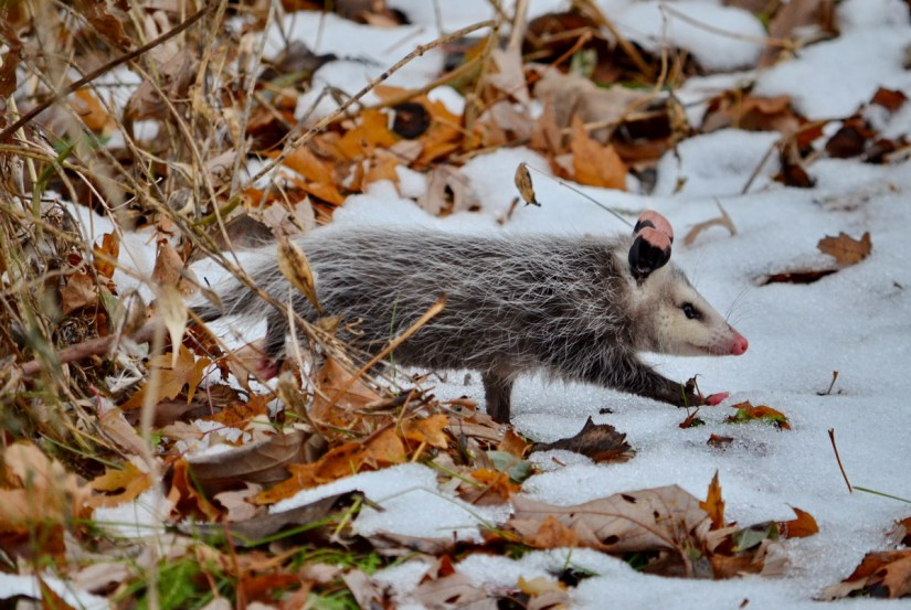 a young Virginia Opossum in winter, Toronto, Ontario, Canada