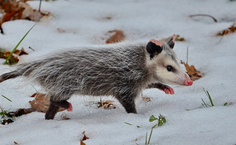 a young Virginia Opossum, Toronto, Ontario, Canada