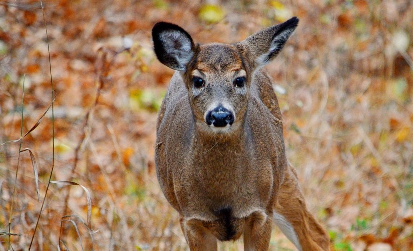 A white-tailed deer foraging on Amherst Island, Ontario, Canada.
