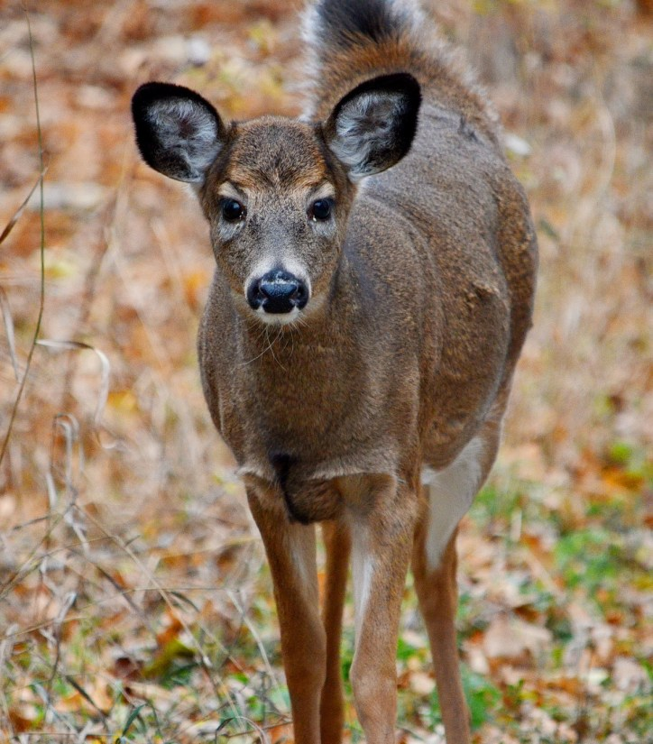 A white-tailed deer along a dirt road on Amherst Island, Ontario, Canada.