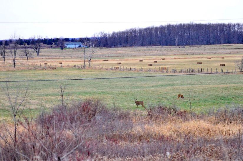 deer in a farm field, amherst island, ontario
