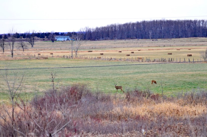 deer in a farm field, amherst island, ontario
