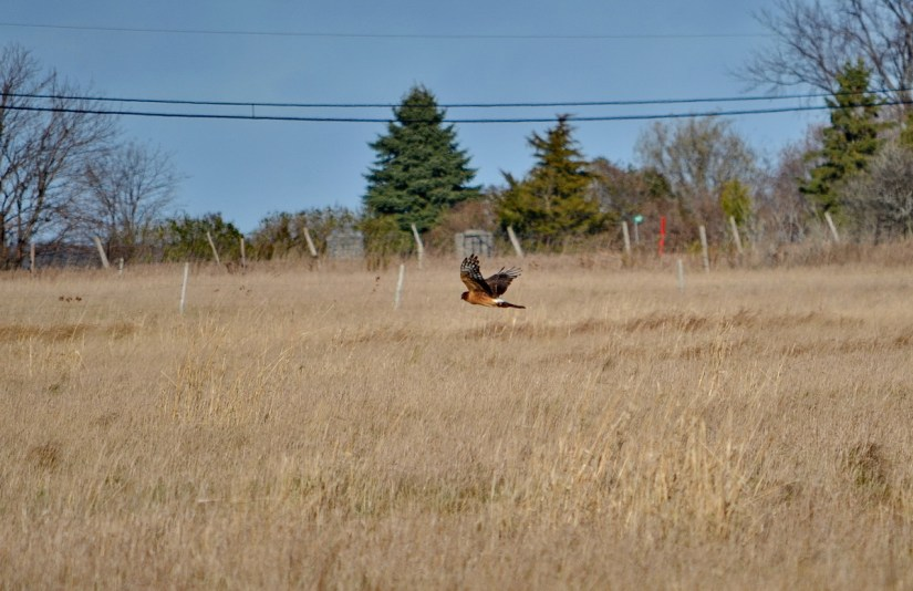 a northern harrier, amherst island, ontario