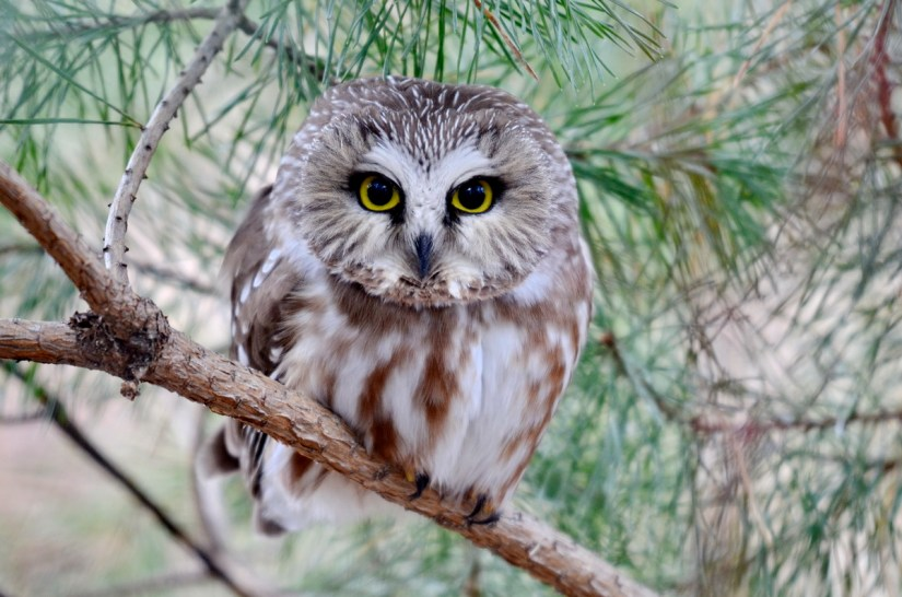 a northern saw-whet owl in ontario, canada