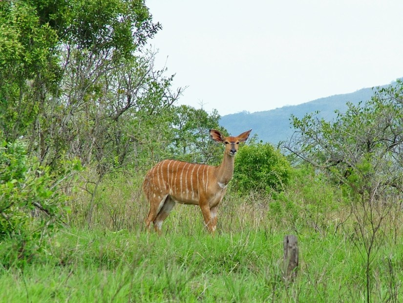 a female nyala in hluhluwe-imfolozi, south africa