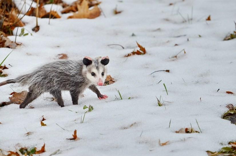 a young Virginia Opossum on snow, Toronto, Ontario, Canada