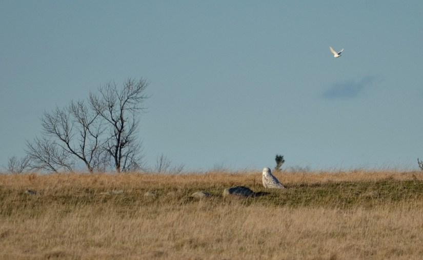 snowy owls, amherst island, ontario