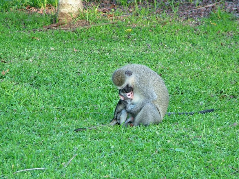 a vervet monkey with its baby at hilltop camp, hluhluwe-imfolozi, south africa