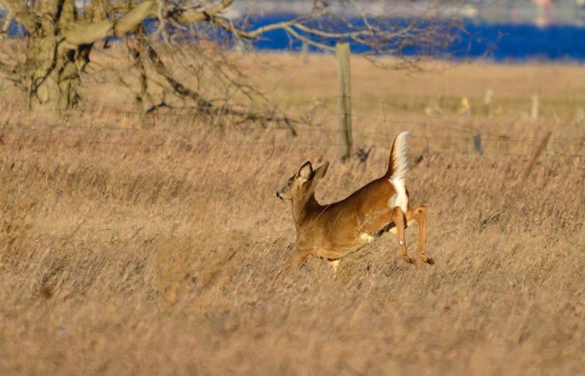 A white-tailed deer dashing across a farm field on Amherst Island, Ontario, Canada.