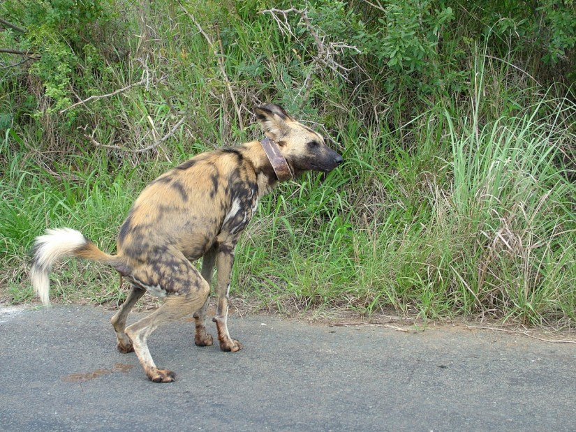 an african wild dog in hluhluwe-imfolozi park, south africa